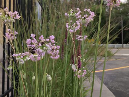 Large bumble bee pollinating plants in bioswale located at AET's head office in Kitchener.